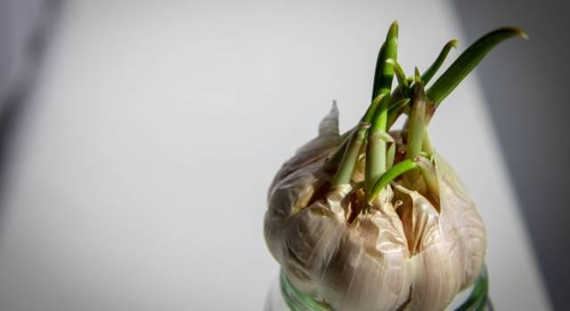 Benefici dell'aglio germogliato