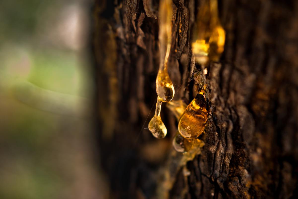 albero resina tronco