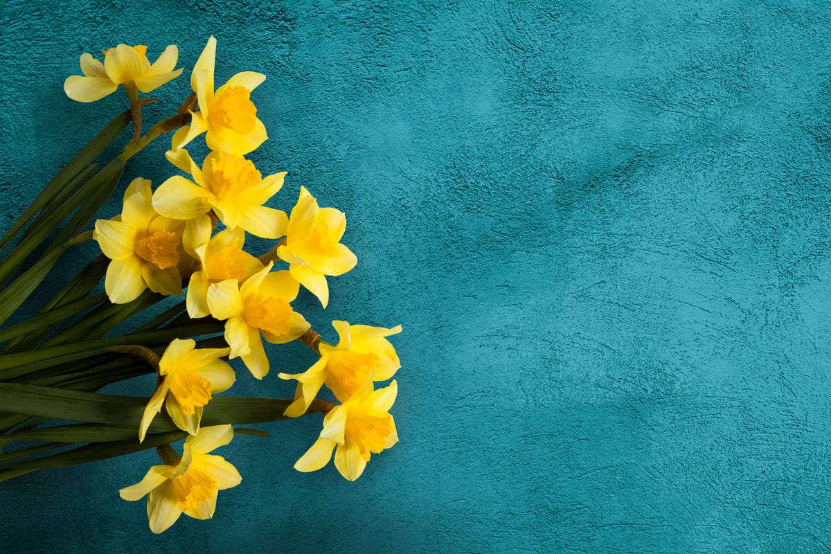 fiori narcisi gialli