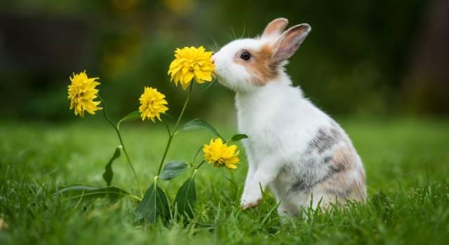 Come profumare il pelo del coniglio