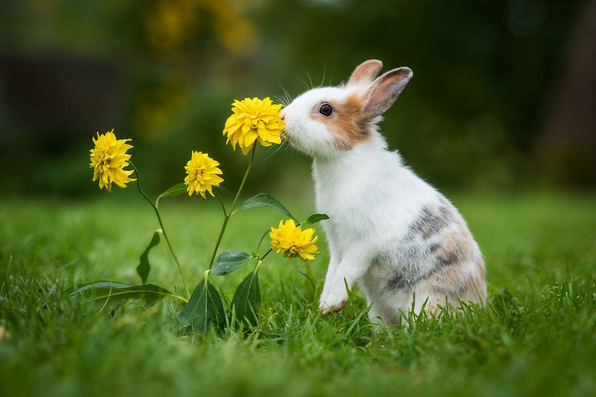 giardino coniglio fiore giallo