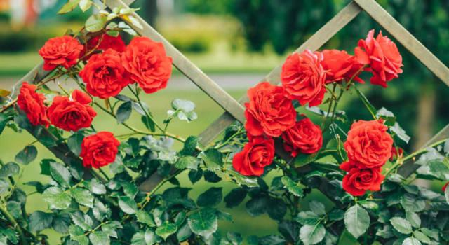 Come coltivare rose rampicanti