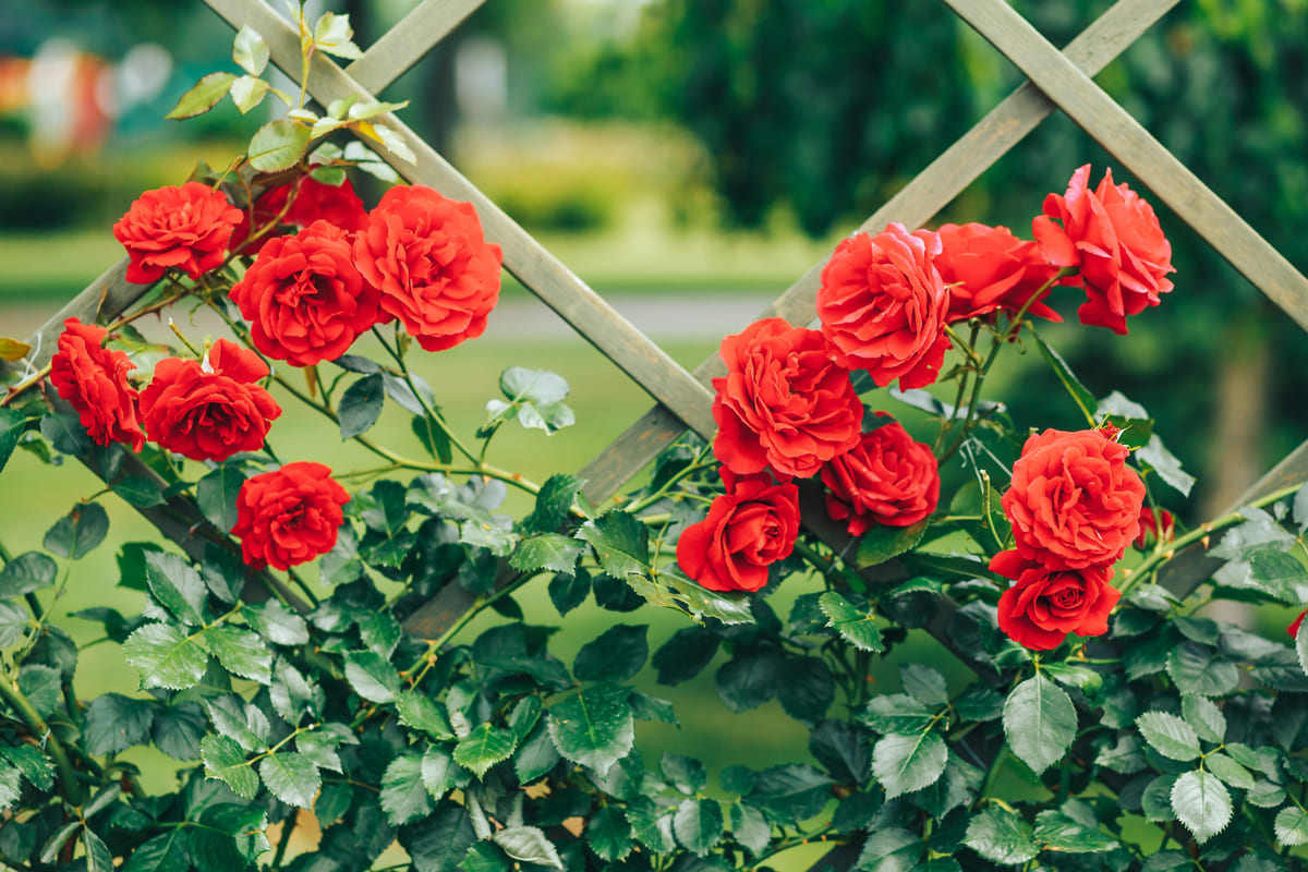 fiori rose rosse rampicanti