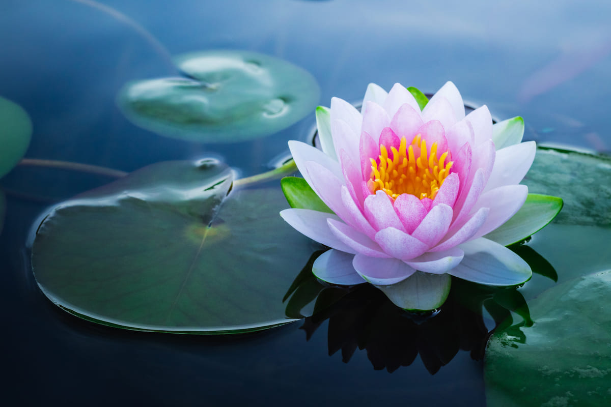 fiore di loto acqua stagno