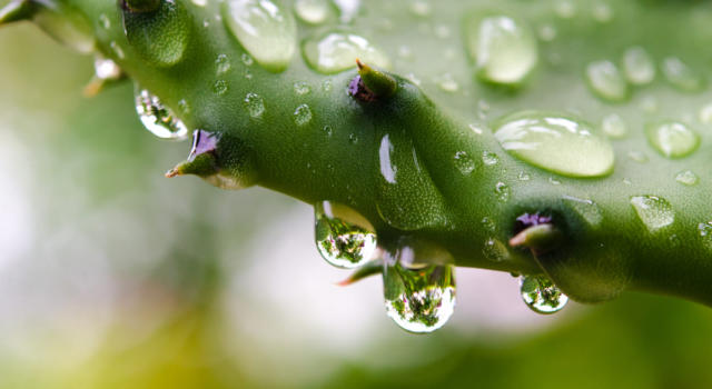 Come usare l'acqua di cactus