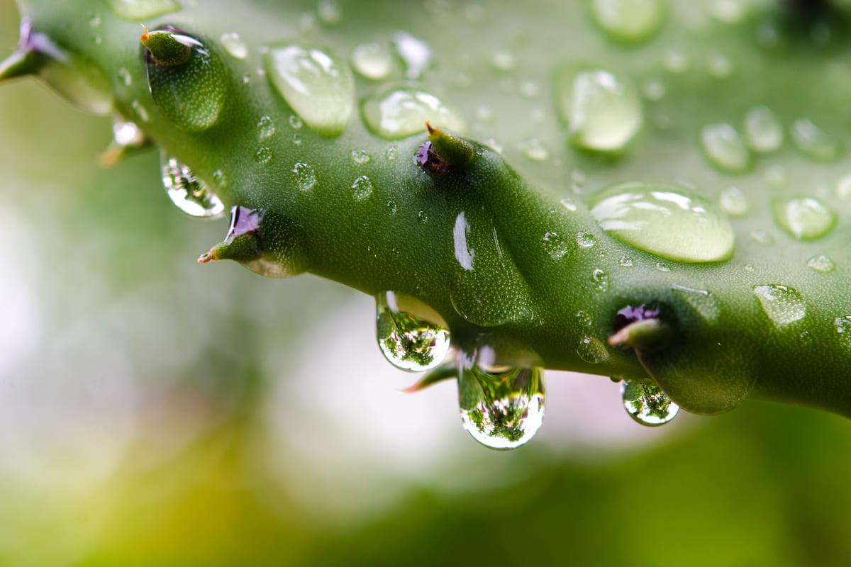 cactus gocce acqua