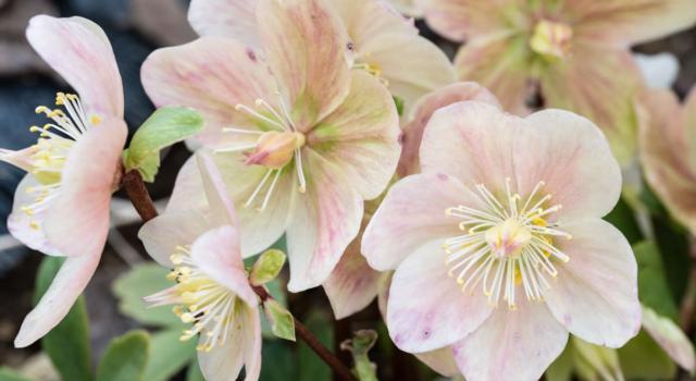 Quali sono piante da balcone sempreverdi resistenti al freddo