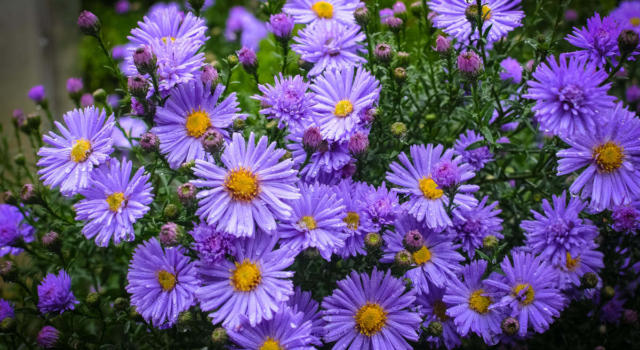 Come curare fiori settembrini