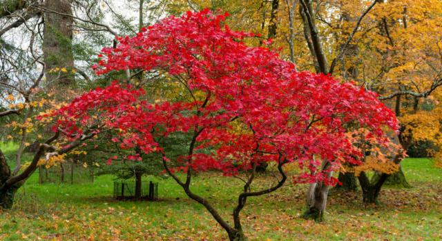 Come curare acero giapponese in giardino