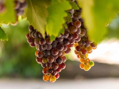 Dall'uva al vino: le fasi della vendemmia