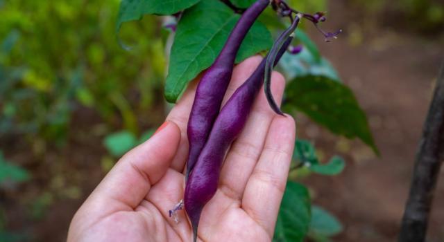 Come coltivare il fagiolo viola in casa