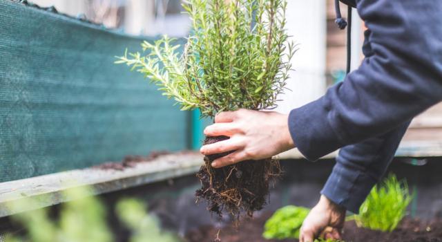 Rosmarino come coltivare in orto