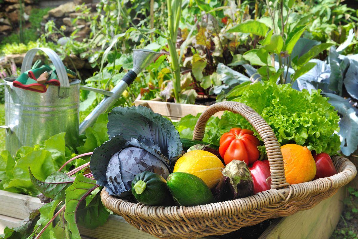 Orto verdure raccolte