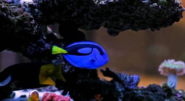 Alla ricerca di Dory: il pesce chirurgo in acquario