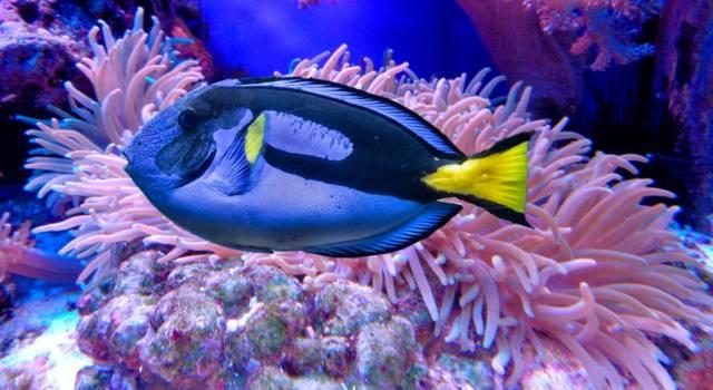 Alla ricerca di Dory: che pesce è Dory