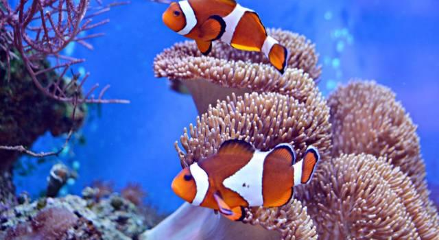 Alla ricerca di Dory: che pesce è Nemo