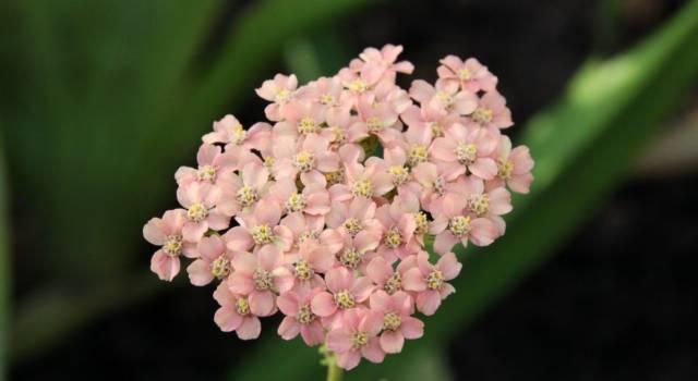 Achillea: cosa significa nel linguaggio dei fiori?