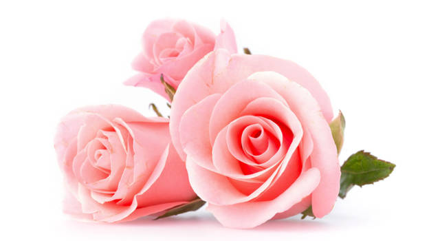 Rosa rosa: cosa significa nel linguaggio dei fiori?