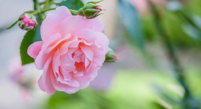 Rosa corallo: cosa significa nel linguaggio dei fiori?