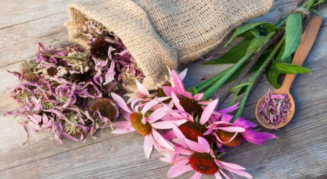 Echinacea: i benefici