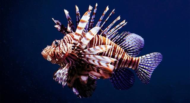 Pesce scorpione da quando nel Mediterraneo
