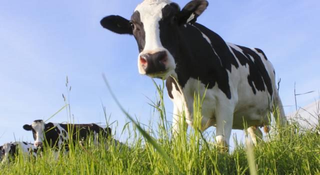Quanto costa una mucca?