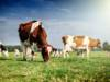 mucche prato