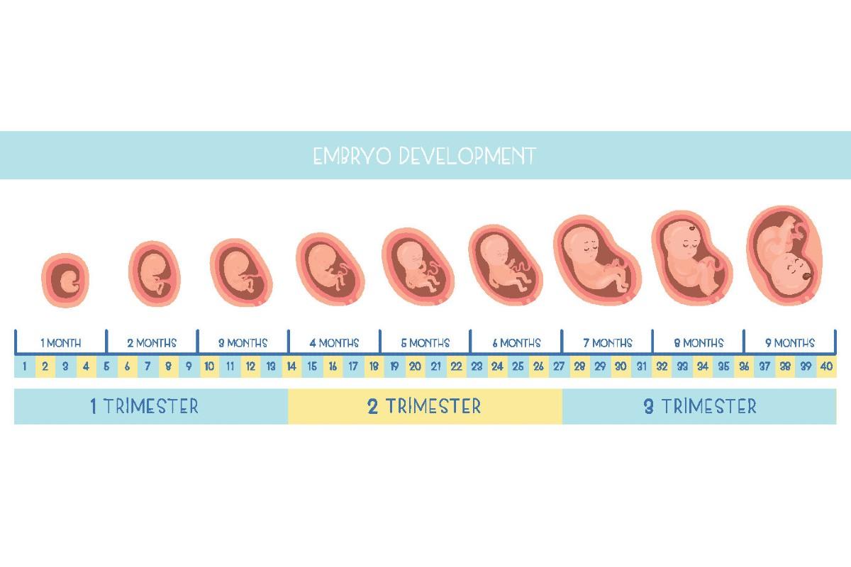 Sviluppo dell'embrione