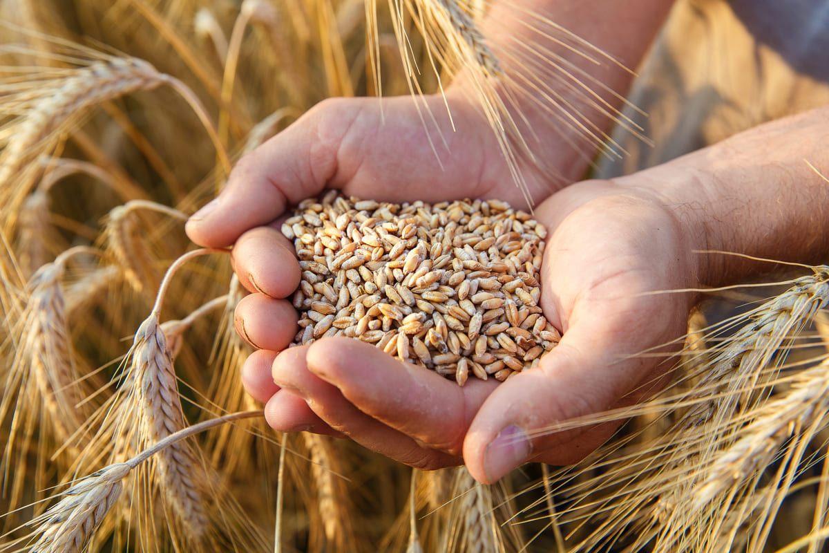 Spighe e chicchi di grano