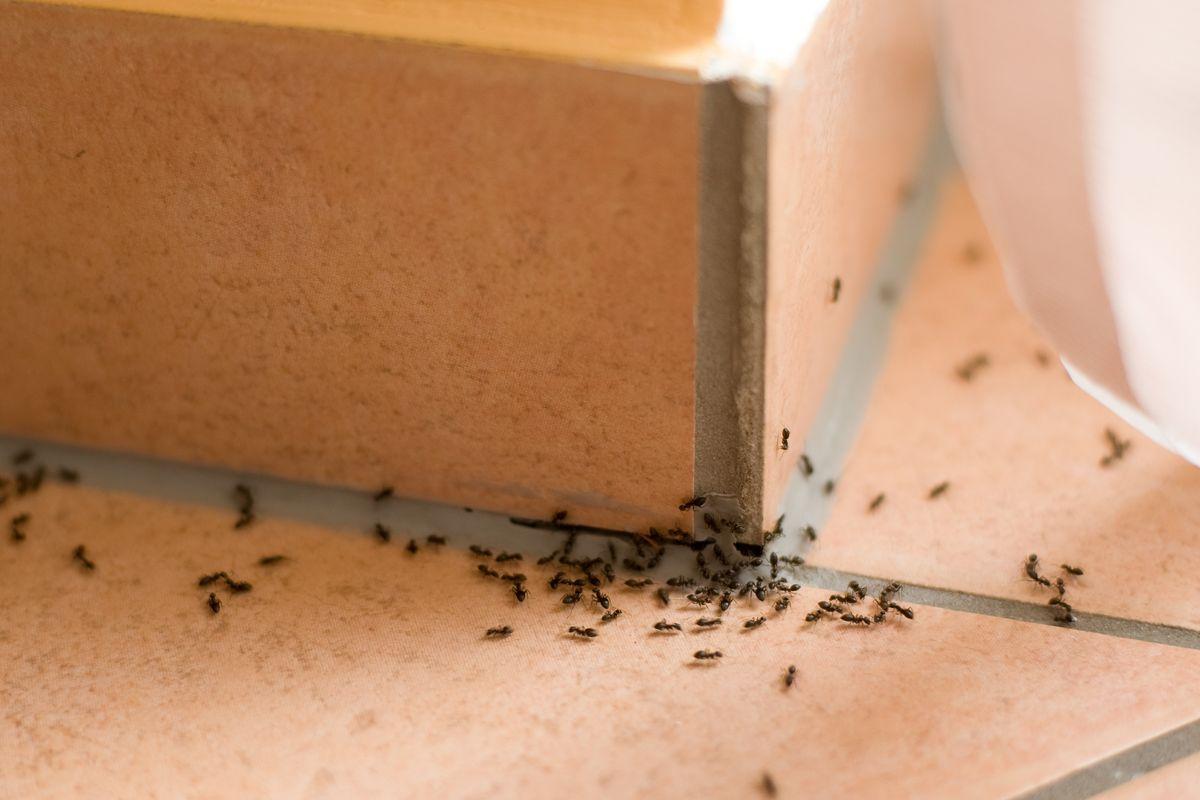 Infestazione di formiche in casa