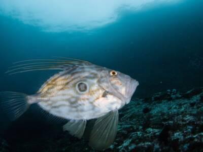 Perché il Pesce San Pietro si chiama così? Una leggenda all'origine del suo nome