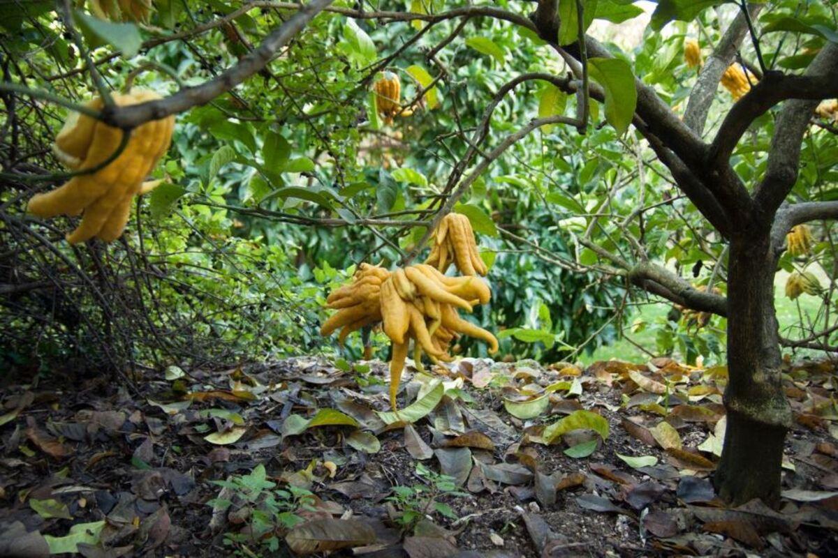mano di buddha pianta