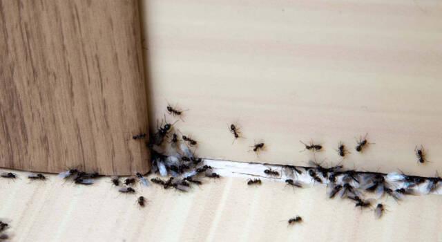 Rimedi naturali contro le formiche che funzionano