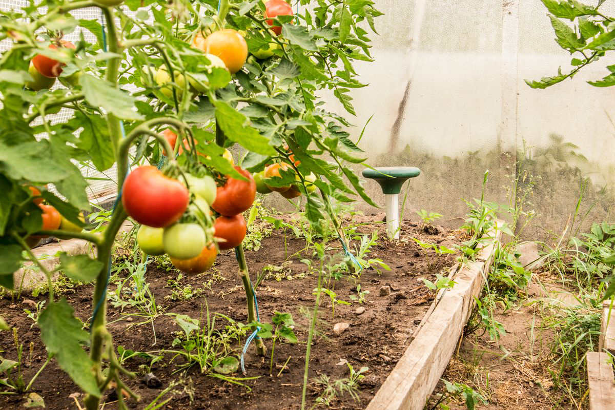 orto pomodori