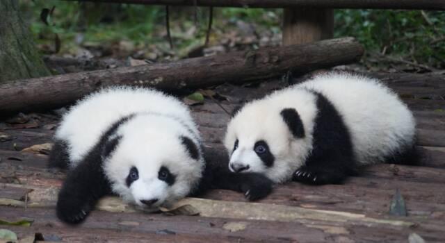 Sono nate due gemelline panda nello zoo francese di Beauval