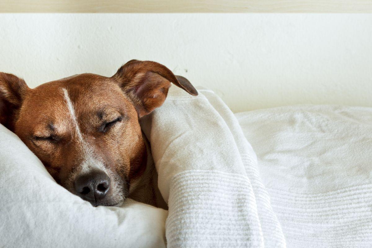 cane dorme coperte