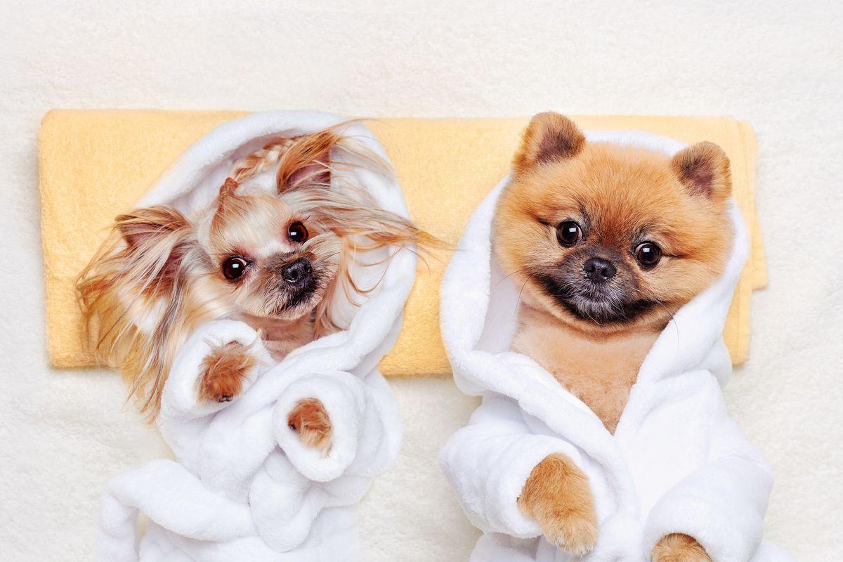 coppia di cani taglia piccola