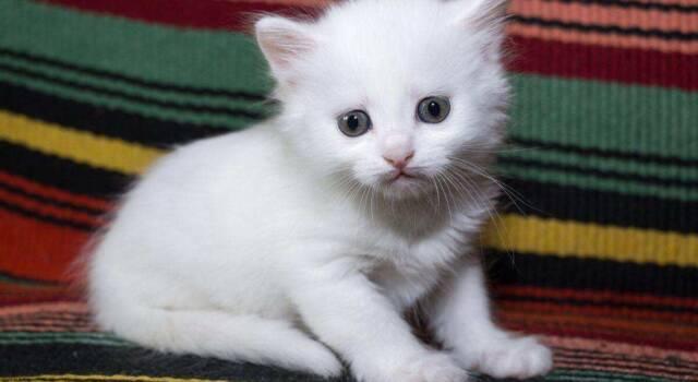 Gattini d'angora: come si presentano e quali sono le caratteristiche principali