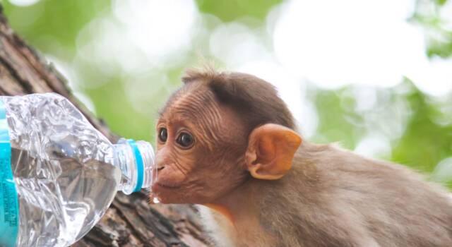 Scimmia domestica: cosa dice la legge?