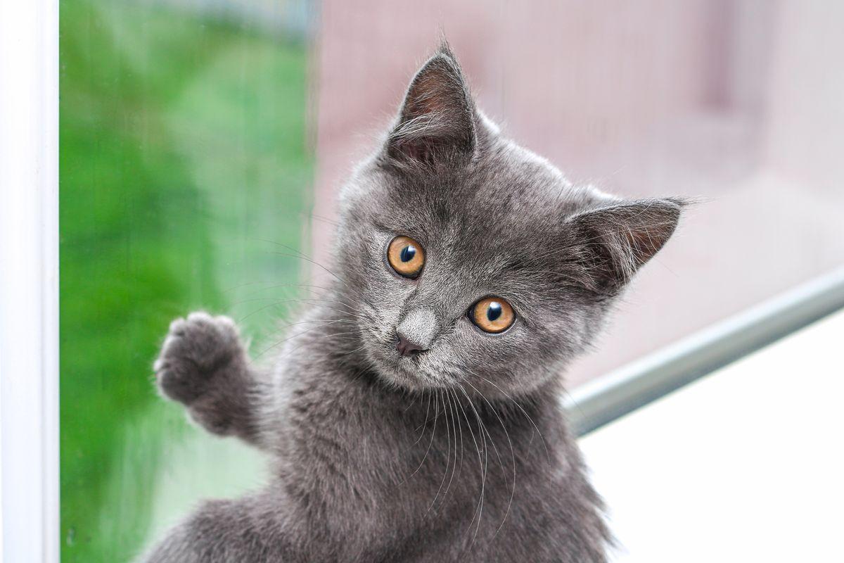 cucciolo gatto grigio