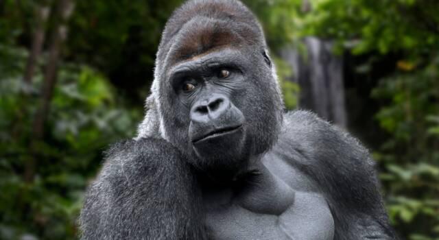 Addio a Ndakasi, la gorilla di montagna che posava per i selfie