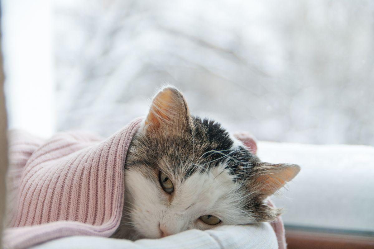 gatto coperta inverno