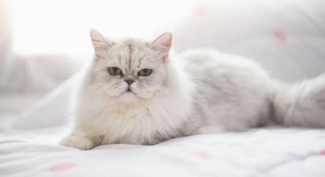 La storia di Puusuke-kun, il gatto che si mette in posa davanti all'obiettivo