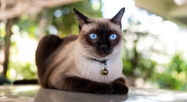 Gatto siamese: carattere e prezzo del micio dagli occhi di ghiaccio