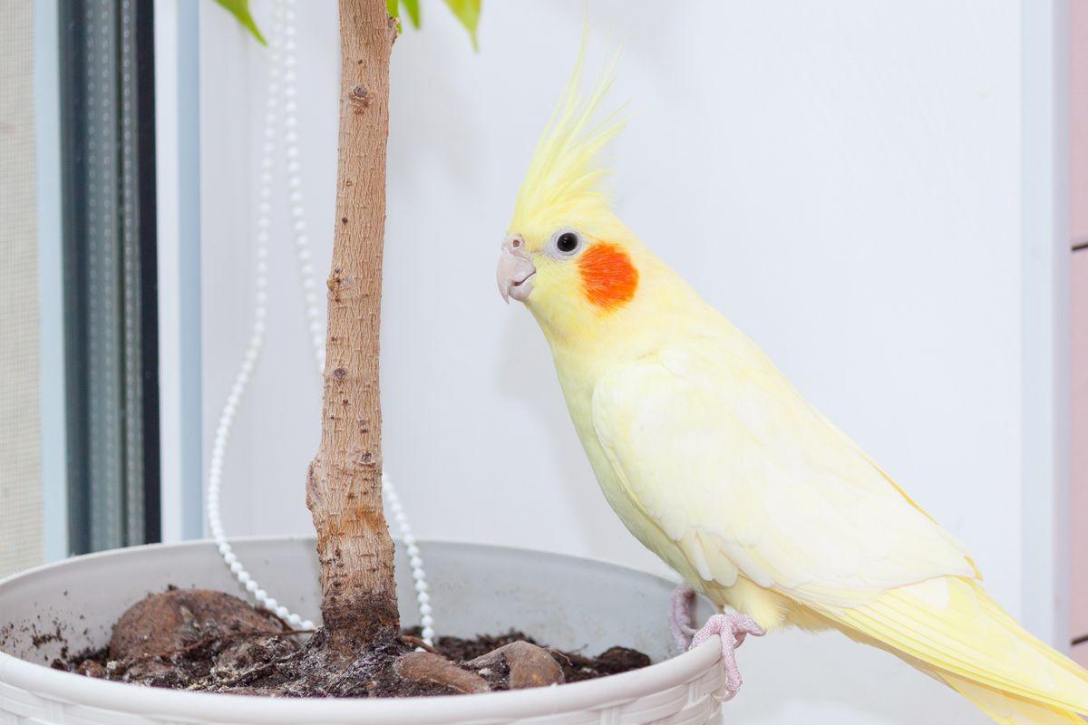 pappagallo calopsita