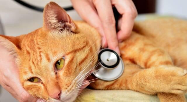 Fip gatto: sintomi e cura della peritonite infettiva felina